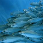 The Economic Performance of the EU Aquaculture Sector. (STECF 14-18).